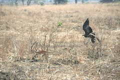 Martial Eagle attacking young Impala - 3 - Mikumi NP, Tanzania