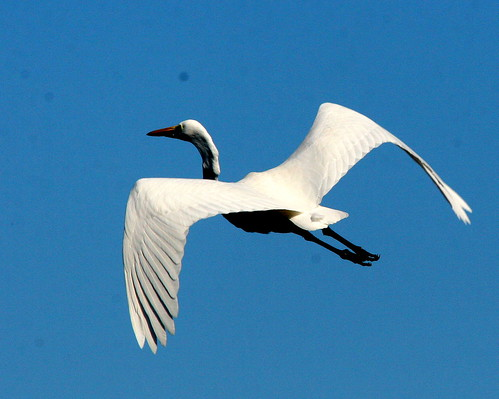Great Egret 20091025