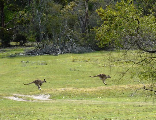 Kangaroos Hopping By While I Geocache