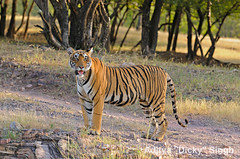 ADS_000006383 (dickysingh) Tags: wild india animal mammal outdoor wildlife tiger bigcat aditya predator ranthambore singh ranthambhore dicky naturesfinest adityasingh ranthamborebagh theranthambhorebagh wwwranthambhorecom