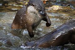 European Otter playfight (Nick Slack (NJS photography)) Tags: derbyshire europeanotter sal75300 sonydslra200