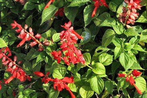 Salvia splendens (rq) - 01