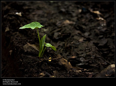 A New Born (Neelakandan | www.neelakandan.com) Tags: brown india plant black color colour green nature leaves sand kerala soil fallen cochi ernakulam kochin blacksoil canon1855mm canoneos40d neelakandan discoverplanet