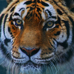 End Of An Era - Jagasar The Amur Tiger (Ian Lambert) Tags: portrait face up zoo close tiger lancashire siberian amur fylde balckpool vosplusbellesphotos flickrbigcats jagasar