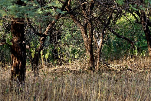 Low 2009-11-29 Sasan Gir - 01 Safari 03