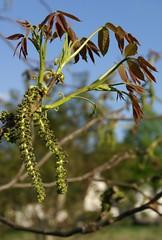 Walnussbaum / common walnut (Juglans regia) (HEN-Magonza) Tags: tree nature flora natur blossoms baum blüten walnuss juglansregia englishwalnut persianwalnut commonwalnut naturschaugartenmainz naturschaugartenlindenmühle