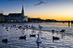 The Pond in Reykjavk. (gst Eir) Tags: sunset sunlight house cold reflection bird ice church water beautiful landscape iceland duck swan pond reykjavik kirkja tjrn s concordians flickrunitedaward