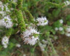 piccolo (fotomie2009) Tags: flowers wild white flower nature flora fiori fiore spontaneous spontanei