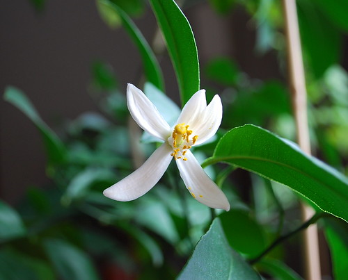 meyer lemon blossom 2