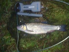 3lb 2oz 8dr chub from the River Foss (robin_bowes) Tags: fishing chub northyorkshire riverfoss