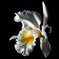 cattleya (nene-aneON - OFF)) Tags: fa oa onblack gpc imagepoetry topseven masterphotos fleursetnature flowerquest worldsartgallery redmatrix