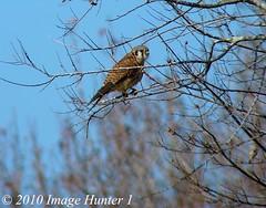 American Kestrel (Image Hunter 1) Tags: nature birds louisiana bayou swamp americankestrel kestrel birdslouisiana panasonicfz35 raynox2025hd22x