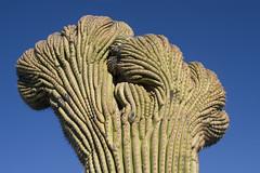 Saguaro12 (patcaribou) Tags: arizona tucson saguaro saguaronationalpark