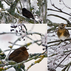 Birds (diesmali) Tags: winter snow tree field birds collage common rowan blackbird fare bjrktrast koltrast sigma70300mmf456apodgmacro canoneos7d