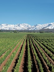 mendoza-argentina-grapes[1]