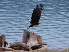 Pallas's Fish Eagle (keith.waters11) Tags: india bird flying eagle wildlife safari raptor birdofprey pallassfisheagle haliaeetusleucoryphus corbettnp indiaanimals indianwidlife raptorflying