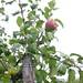 malus-domestica_appelboom