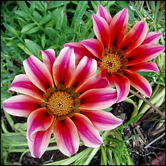 Gazanias (lacha2008) Tags: reflection5 theunforgettablepictures natureselegantshots saariysqualitypictures thebestofmimamorsgroups mygearandme mygearandmepremium mygearandmebronze mygearandmesilver mygearandmegold flickrsportal mygearandmeplatinum mygearandmediamond aboveandbeyondlevel1 flickrstruereflection1 flickrstruereflection2 flickrstruereflection3 flickrstruereflection4 flickrstruereflection5 flickrstrue