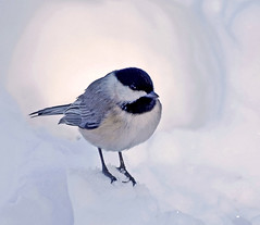 Snow Bound (Shannonsong) Tags: winter bird nature wildlife aves chickadee carolinachickadee songbird snowbound westvirginiawildlife blizzard2010