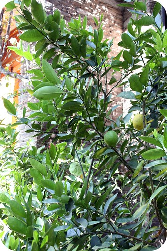 Lime tree out by my front door