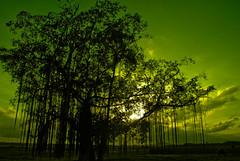 a tree story (alif  mim  ya  nun) Tags: sunset cloud black green nature beautiful beauty wall wonderful nikon asia flickr natural earth haunted explore malaysia mysterious bigtree beneath sillhouette breathtaking terengganu fotografy nuetral manir alifmimyanun silwek aminfitri keborair atreestory