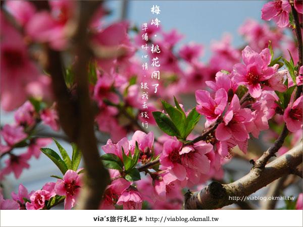 【梅峰農場桃花緣】最美的桃花隧道,就在南投梅峰這裡~(上)28