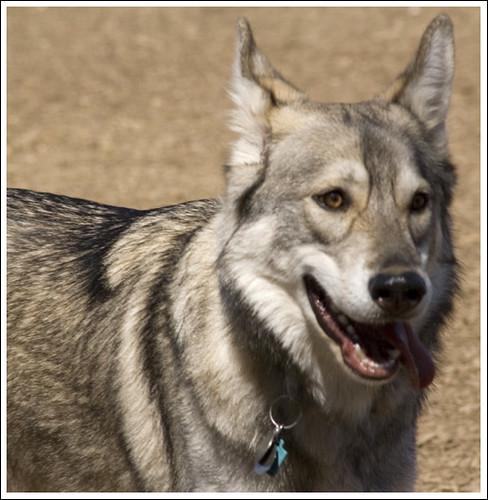husky wolf mix. Wolf Hybrid