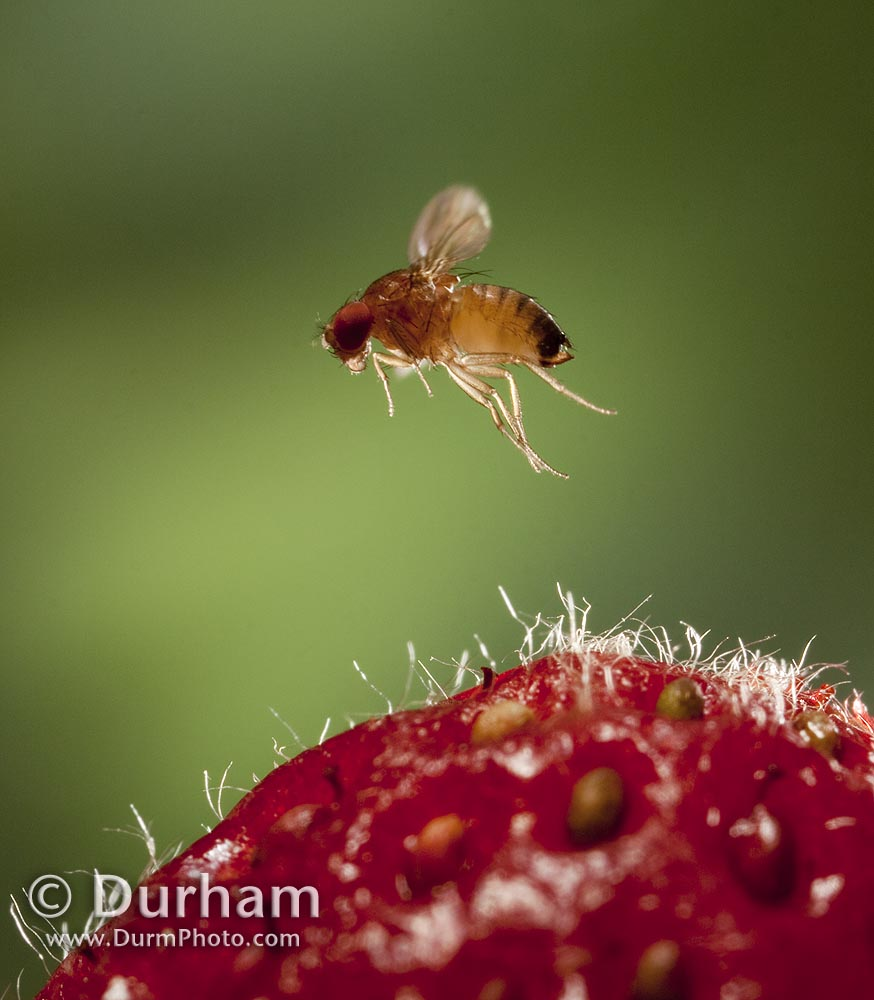 Spotted wing fruit fly (Drosophila suzukii)