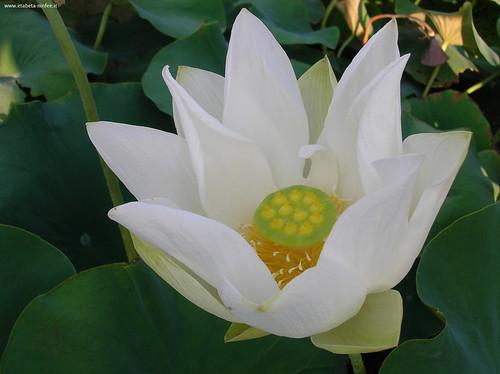 Nelumbo 'Rosy Thousand petals'