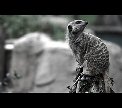 Meerkat in Cornwall. 03 (Luke_Williams) Tags: blue bw nature animals photography zoo george meerkat nikon perfect holidays cornwall dof williams shot god bokeh great luke angles creation gods emotions recent compare 2010 timing d60 meerkatcom