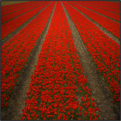 Spring Sprung (wjosna) Tags: flowers red flower holland field square photo vanishingpoint spring nikon tulips super wjosna