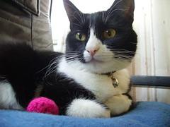 Mushu (aunqtunolosepas♥) Tags: pet cats pets cute animal animals cat kitten feline adorable kitty gatos cutie tuxedo gato gata felinos felino felines lovely mascota mushu auqntunolosepas