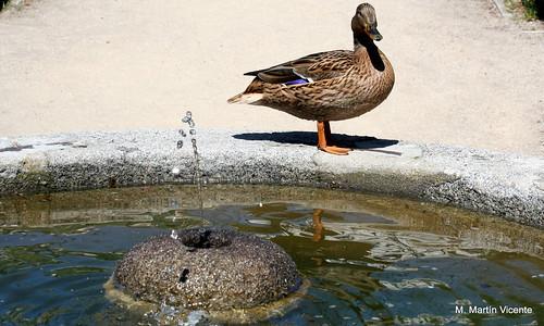 el pato en su fuente