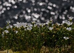 cliff side bokeh 2 (Feet wet) Tags: wildflower hornbyisland nikkor105mmf28gvrmicro copyrightbriankingzett contactforpossiblephotouse pleasecontactmedirectlytouseaphoto