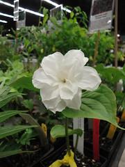 Trillium grandiflorum Flore-pleno