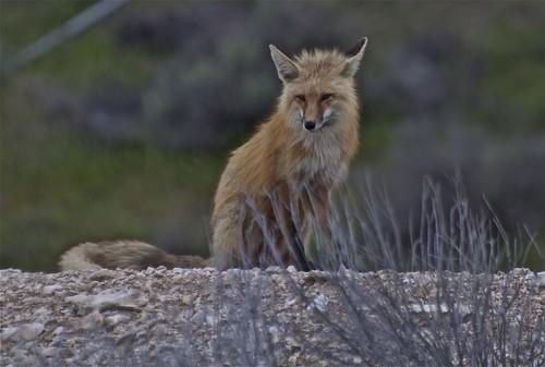 red fox sitting. Red Fox Sitting