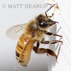 Honey Bee - Apis Mellifera (Matt Bearup) Tags: macro nature bug insect buzz bees sting farming bee honey wa pollen agriculture stinger honeybee hive beehive yakima workerbee entomology beesting beekeeping apis mellifera honeybees busybee pollination beekeeper selah pollenator stung apismellifera apiculture westernhoneybee europeanhoneybee