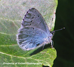 Holly Blue (Julesy2011) Tags: blue bug insect butterflies peacock caterpillar common hollyblue macrolife