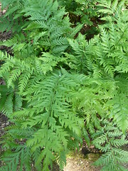 """Fern Woodwardia Fimbriata • <a style=""""font-size:0.8em;"""" href=""""http://www.flickr.com/photos/61957374@N08/5853497565/"""" target=""""_blank"""">View on Flickr</a>"""