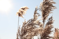 swinging in the wind (honiigsonne) Tags: grass weed sun sunny backlight gras gräser sonne sonnenschein brown braun light licht natur nature outdoor outside