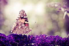 ~What the caterpillar calls the end of the world, the master calls a butterfly~ (Pink Pixel Photography (f.k.a. Sunny)) Tags: butterfly summermemories hbw sigma1770mm canoneos400d imisssummeralready happybokehwednesday wwwpinkpixelat pinkpixelphotography icannotwaitforspringtocomeagain foundthisbeautynexttoastreetandfolloweditforhalfanhouruntilifinallycoughtit evendonkeysneedarestsometime