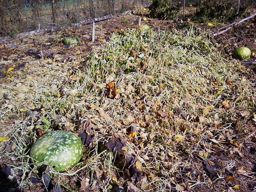 Dead gourd vines