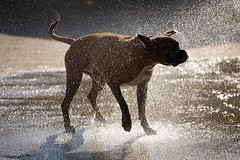 dancing dog (paul indigo) Tags: dog water fun droplets ears spray