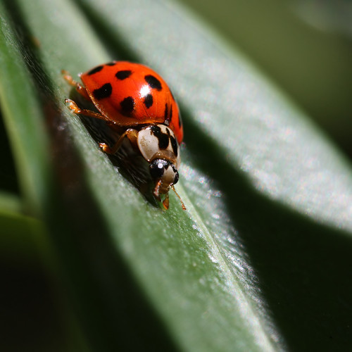 the curious adolescent ladybug...