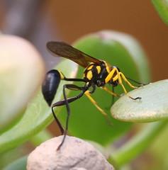 Wasp (tinica50) Tags: macro wasp bugs soe macrolicious diamondclassphotographer flickrdiamond theperfectphotographer goldstaraward beautifulmonsters