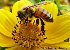 Bee Gathering Pollen (Image Hunter 1) Tags: flower macro nature louisiana bee bayou swamp bayoucourtableau panasonicfz35 raynox2025hd22x