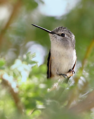 King of the Forest (!STORAX) Tags: animals fauna canon delete5 delete2 hummingbird delete6 palmsprings save3 delete3 save7 save8 delete delete4 save save2 save9 save4 save5 save10 save6 savedbydeletemeuncensored img5814