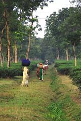untitled (u n f o r g i v e n) Tags: green workers tea dusk teagarden sylhet bangladesh teapicking eos50d