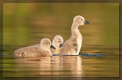 Cygnet of the walk.. (hvhe1) Tags: holland cute bird nature water netherlands animal swimming nationalpark swan bravo wildlife young cygnet swamp waterfowl biesbosch wetland cygnusolor interestingness3 natuurreservaat specanimal hvhe1 hennievanheerden vosplusbellesphotos