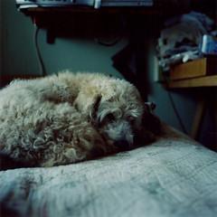 (regina_falangi) Tags: dog pet 6x6 vintage mediumformat square kodak perro analoga mascota 120mm viadelmar portra400vc formatomedio guatero rolleiflexautomat35 nikitanikolaiextreme seudocockerseudopoodle